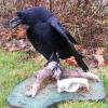 Crow and beaver skull